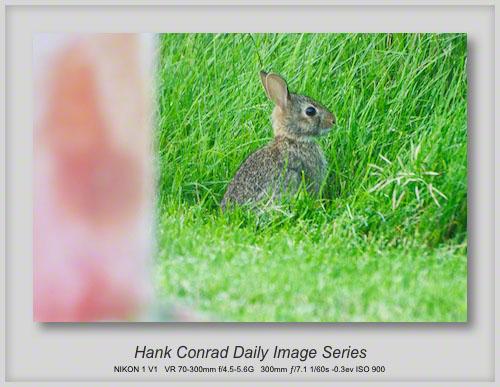 7/03/2013 Baby Rabbit