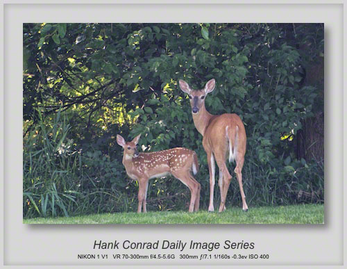 7/04/2013 White-tailed Deer & Fawn