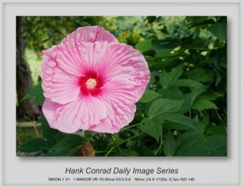 9/08/2013 Hibiscus