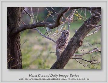 10/01/2013 Barred Owl