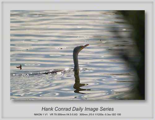 10/07/2013 Double-crested Cormorant
