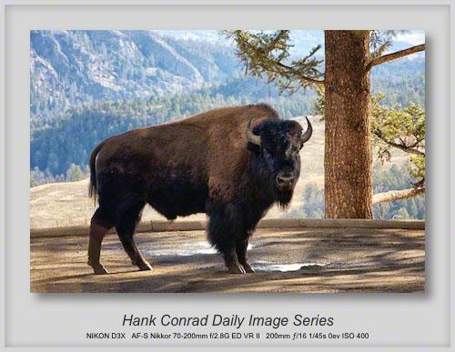 11/18/2013 Bison