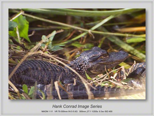 1/16/2014 Juvenile Alligator