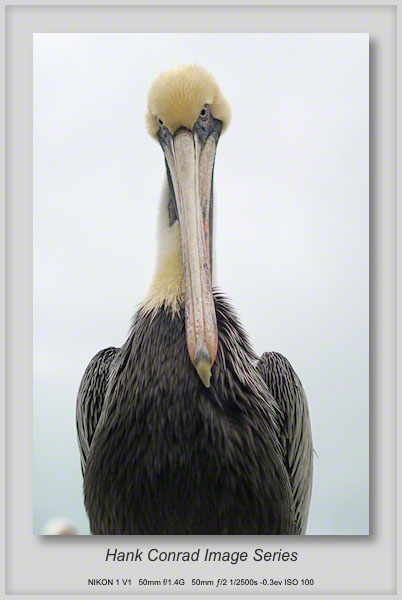 1/27/2014 Juvenile Brown Pelican