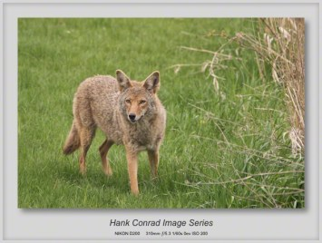 Coyote Mother