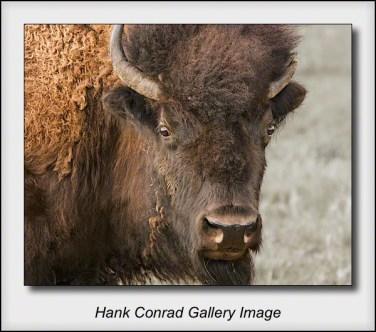 Old Bison