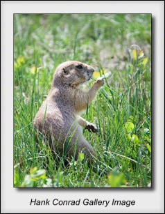 Prairie Dog Lunch