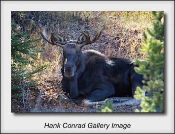 Lazy Bull Moose