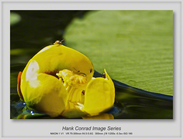 Water Lily; Up Close