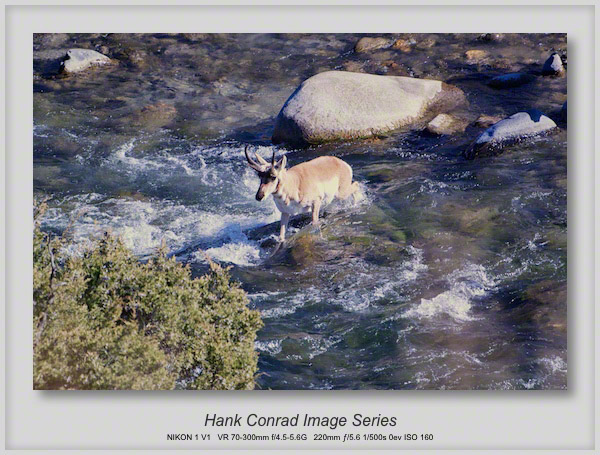 Pronghorn Crossing Yellowstone River