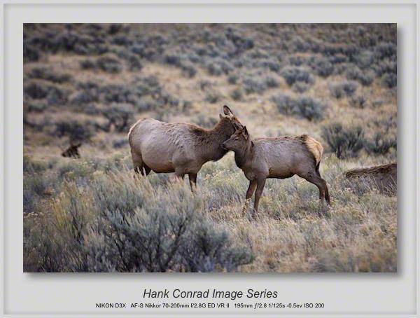 Elk Cow & Calf