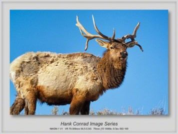 Bull Elk at Yellowstone