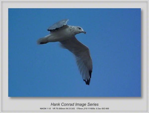 A Blue Seagull?