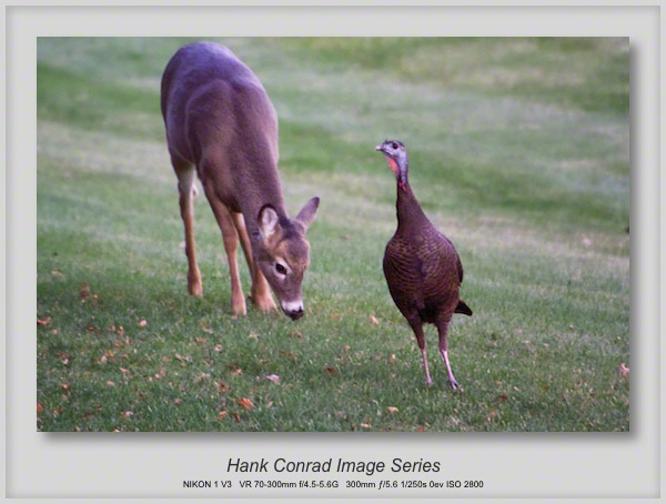 Wild Turkey & White-tailed Deer