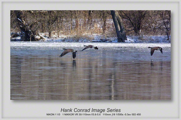 Canada Geese Skimming the Icy Fox River
