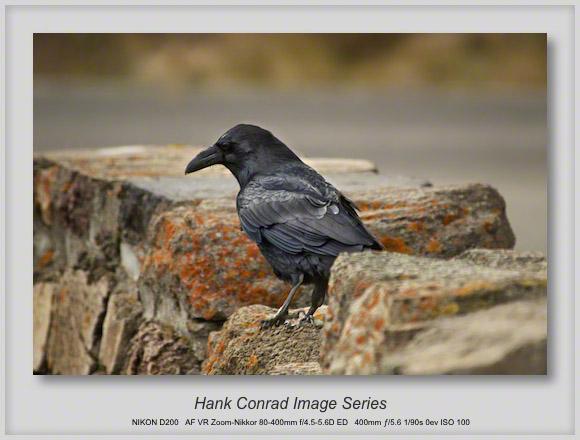 Raven @ Yellowstone