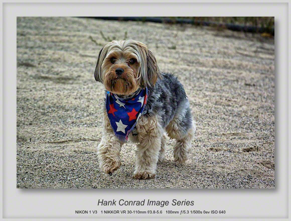 Yorkshire Terrier on the Beach