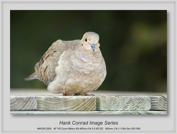 Morning Dove on a Dock