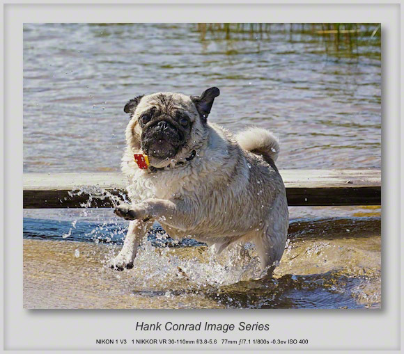 Summertime Pug Fun