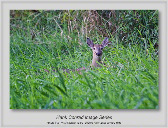 White-tailed Deer in the Bush