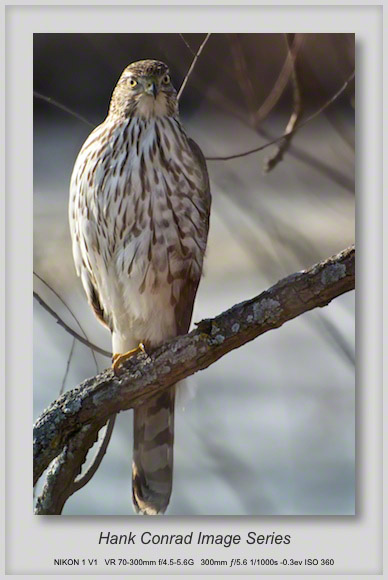 Cooper's Hawk on the Trail