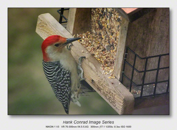Winter Birds by Feeder | Red-bellied Woodpecker