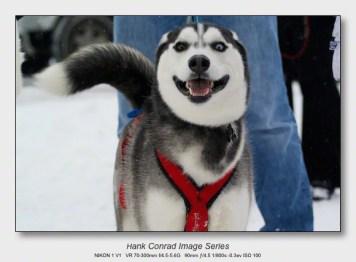 Husky Dogsled Party   Eyes of a Husky