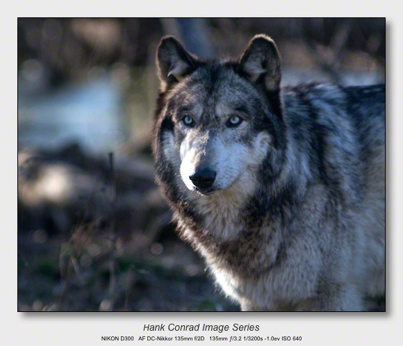 Wolf Park Wolves | Gray Wolf Portrait