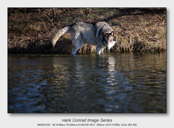 Wolf Park Wolves | Wolf Wading