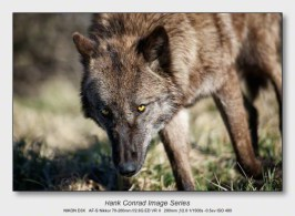 Wolf Park Wolves | Wolf Eyes
