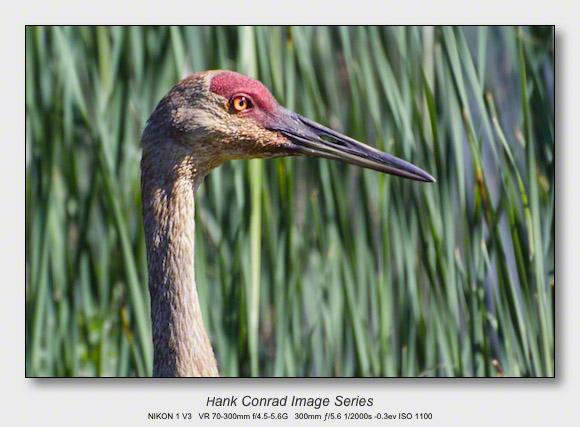 Sandhills on the Platte   Beautiful Crane