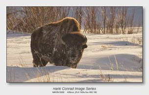 American Bison | Winter in Lamar Valley
