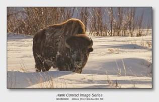 American Bison   Winter in Lamar Valley