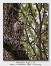 Spring Walkabout | Barred Owl