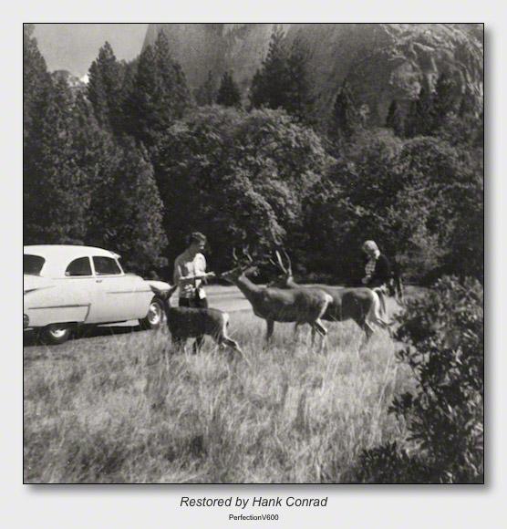 Yellowstone 1953 | Feeding Deer