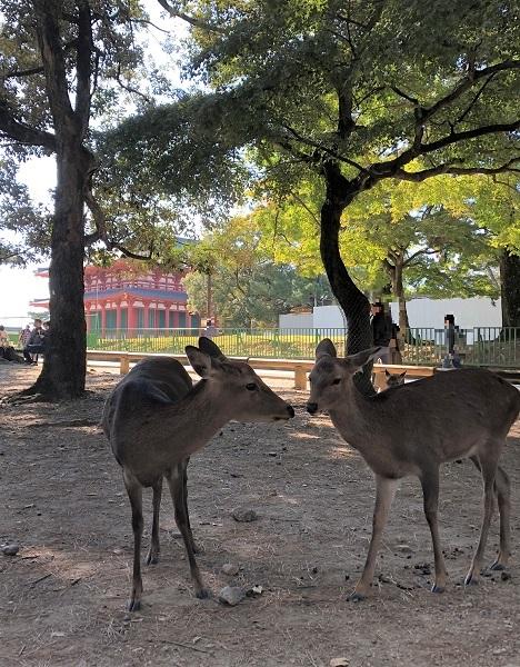 2019年11月奈良一人旅。奈良公園で仲良さげな鹿たち