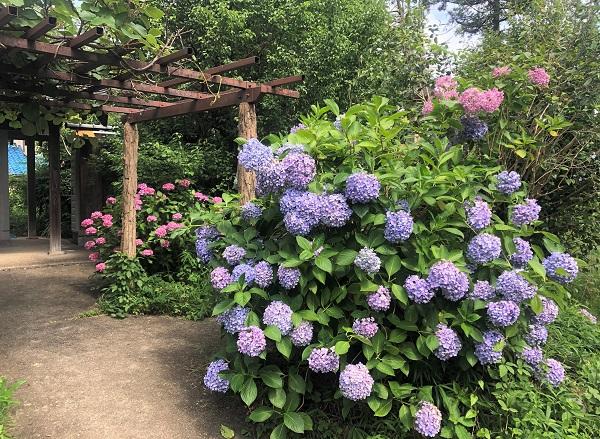 202006奈良・般若寺。境内に咲くあじさい
