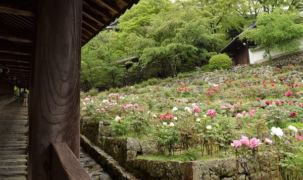 ★202104春の奈良一人旅。長谷寺の回廊脇に咲く牡丹(ぼたん)