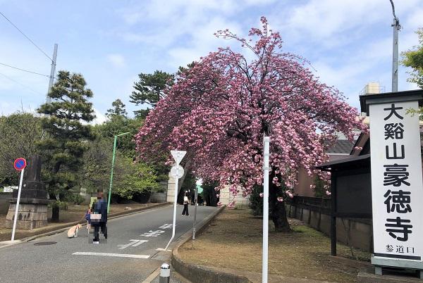 2020春・豪徳寺入口に美しく咲く花