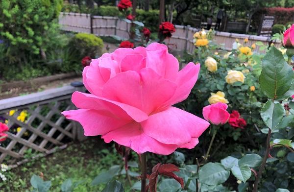 202105江東区・木場公園の都市緑化植物園に咲くピンクのバラ