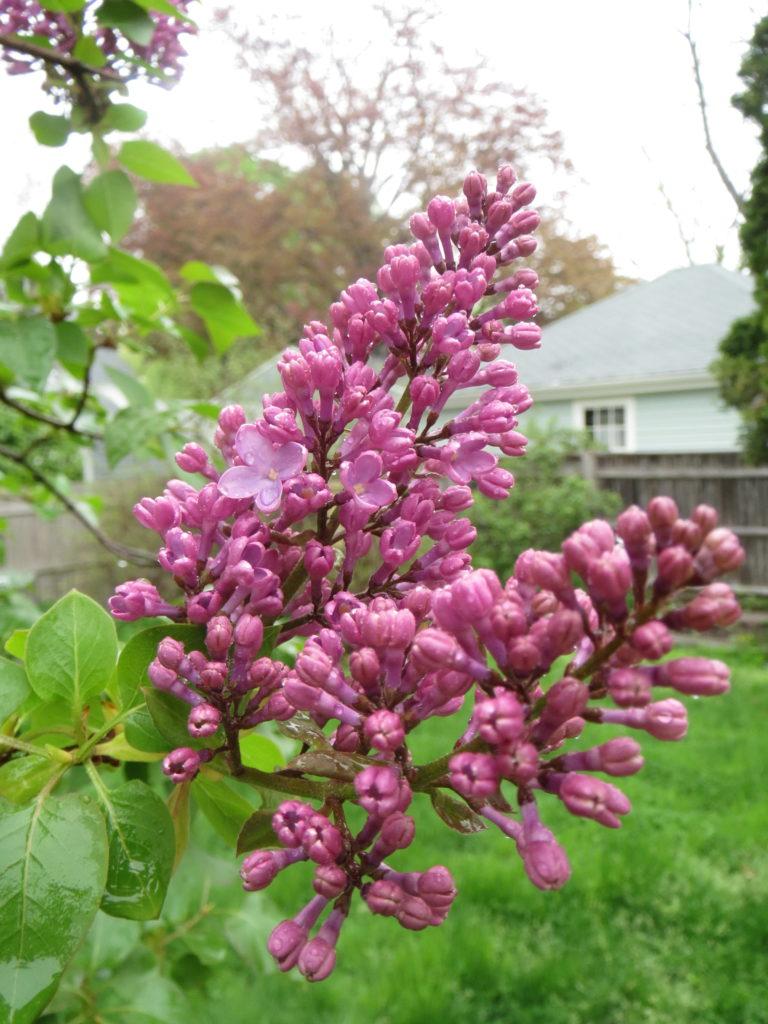 lilacs, wearied