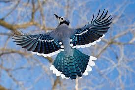 blue jay (tumblr.becausebirds.com)