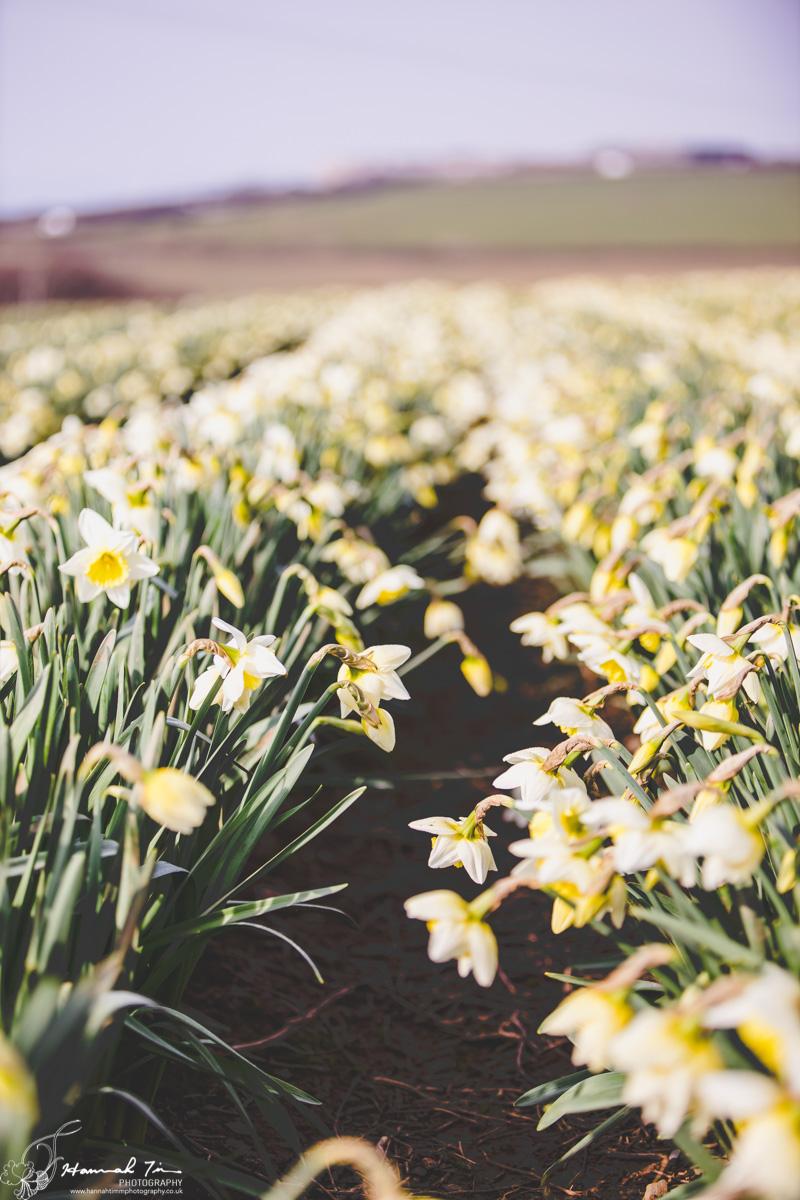 Daffodil fields cornwall