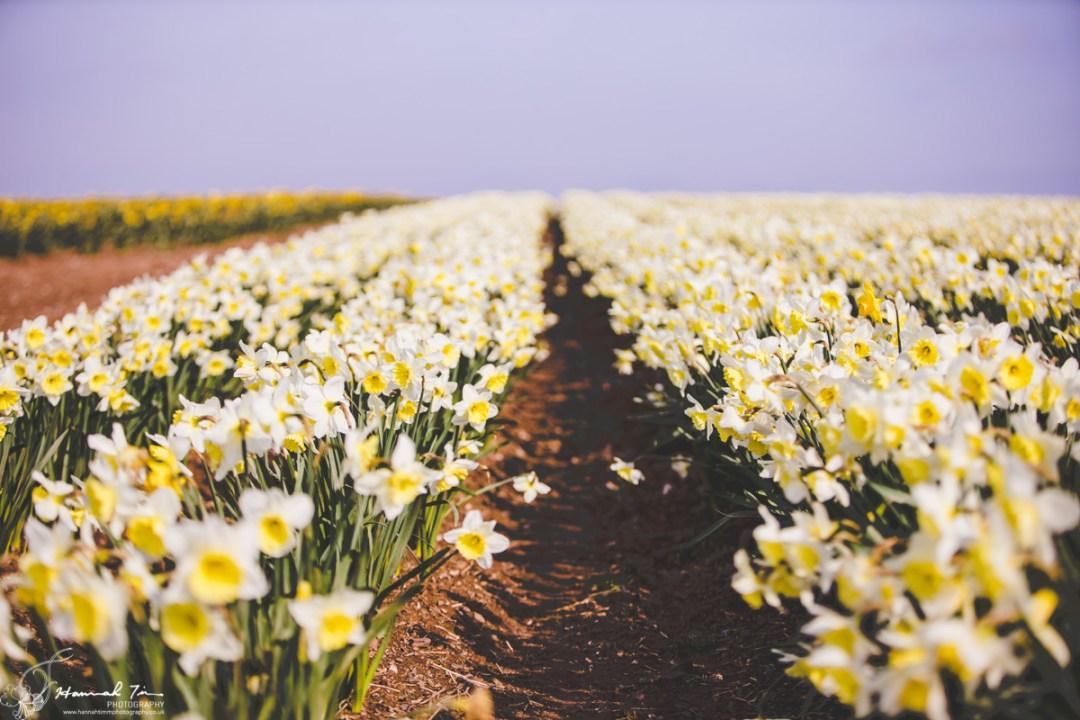 daffodil portraits cornwall