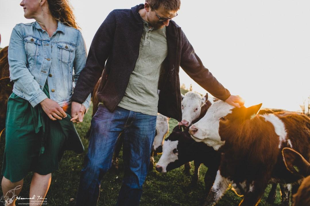 cows engagement photographs