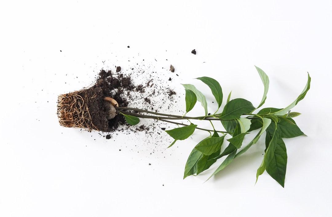 How to grow an avocado plant