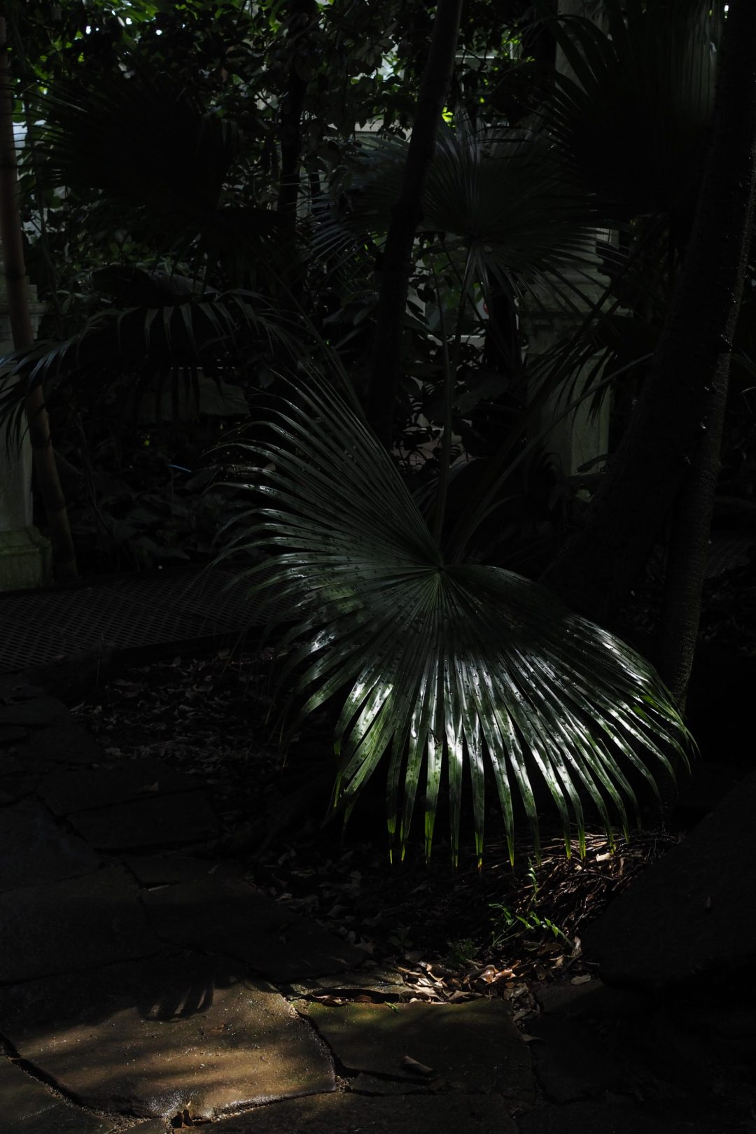 Large palm inside he palm house, Copenhagen