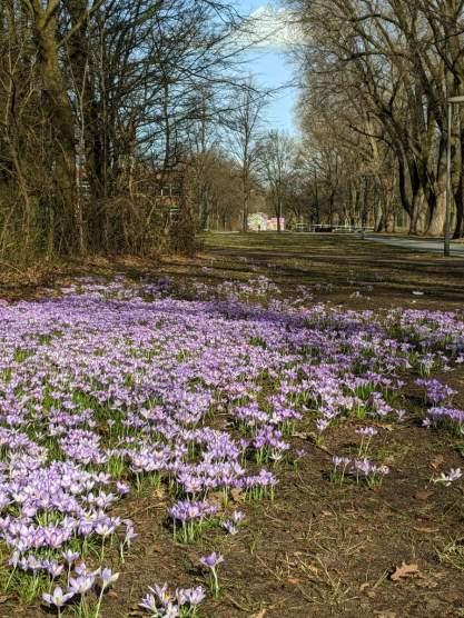 Krokusblüte in Vahrenheide
