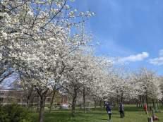 Kirschblüte im Hiroshimahain