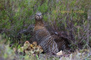 teeren pesällä poikaset kuoriutuneet, emä valpastuu lintujen varoitusääniin, Suomussalmi